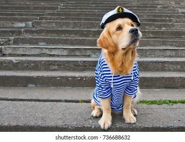 golden retriever in the shape of a sailor, vest, cap, dog in suit