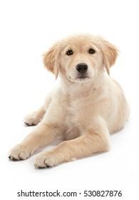 Golden retriever and Shih Tzu Dog Breeds isolated on white background