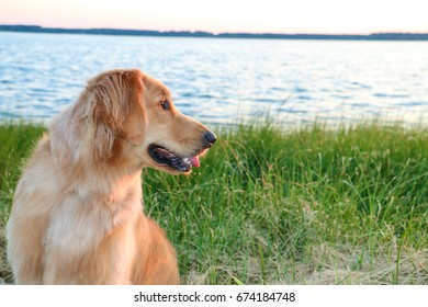 Golden Retriever sitting by the Chesapeake bay