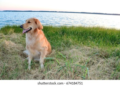 Golden Retriever sitting by the water in grass