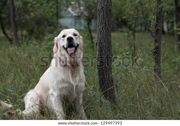 Golden Retriever sitting in the grass