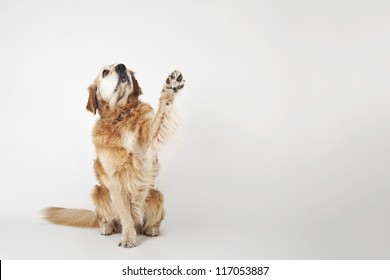 Golden retriever is sitting and greeting on the white background
