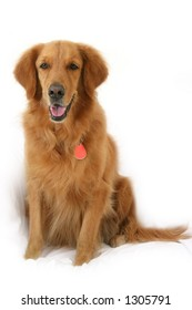 Golden retriever sitting up looking straight at camera