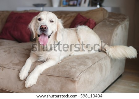Golden Retriever Sitting On Sofa Home Stock Photo Edit Now