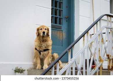 Golden Retriever sitting on the steps at the door to the house on the street and waiting for his master. A dog, a devoted friend, awaiting the return of a man. Pets and loyalty. Cute animal.