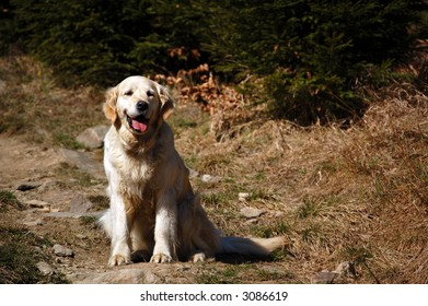 Golden retriever sitting and smiling