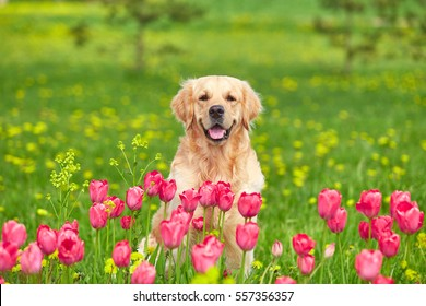 Golden Retriever sitting in tulip flower fields