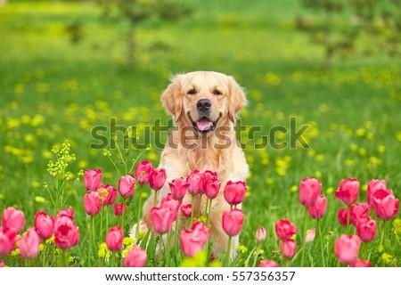 Golden Retriever Sitting Tulip Flower Fields Stockfoto Jetzt