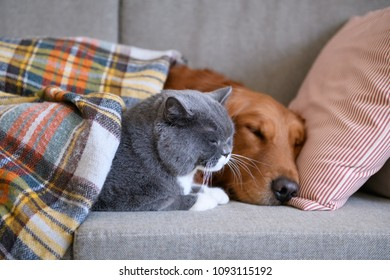 Golden Retriever sleeps with the cat