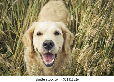 Golden retriever smiling at camera