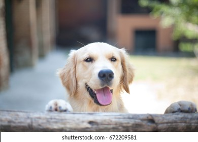 Golden Retriever Smiling on Wood Fence