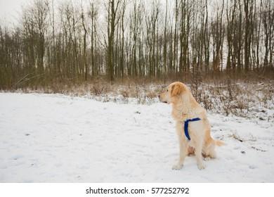Golden retriever in snow (Almere, Holland)