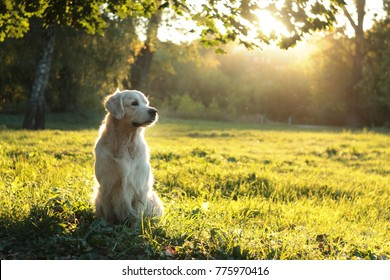 golden retriever in summer sunlight sunset on green grass