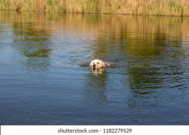 Golden Retriever swimming in lake. Hound hunting in pond. Dog is exercising and training in reservoir.