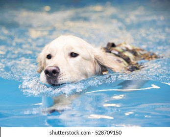 Golden retriever is swimming in a pool and enjoying.