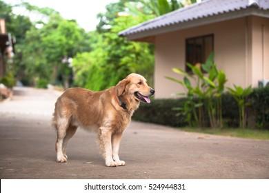 The golden retriever, taken in outdoor - Shutterstock ID 524944831