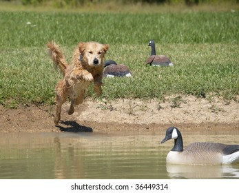 Golden Retriever ten month old puppy leaping into pond past decoys for his duck.