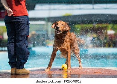 Golden Retriever throws water by the pool