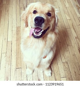 Golden Retriever with tongue sticking out