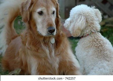 Golden Retriever and Toy Poodle