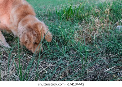 Golden Retriever tracking in the grass