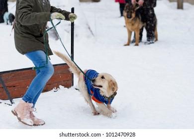 Golden Retriever training on the street in winter
