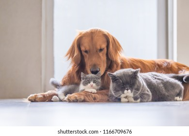 Golden Retriever and two cats