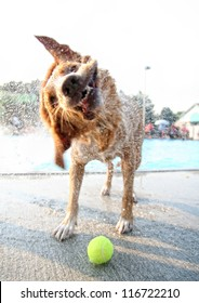 a golden retriever type dog shaking water off at a pool