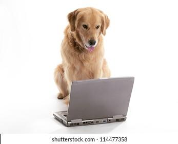 A Golden Retriever using a laptop