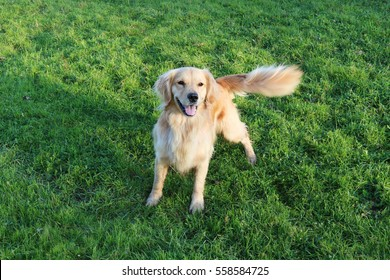 Golden Retriever Wagging Tail