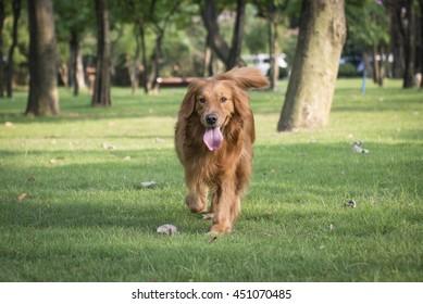 The golden retriever for a walk on the grass