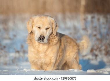 Golden retriever walking on the snowfield
