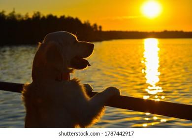 Der goldene Retriever beobachtet den Sonnenuntergang am See