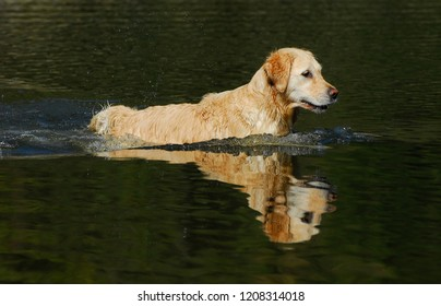 Golden Retriever in Water with reflection