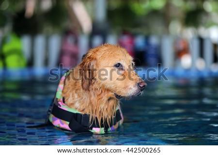 Golden Retriever Wear Life Jacket Swimming Stock Photo Edit Now