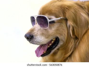 Golden Retriever wearing glasses.