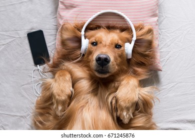 The Golden Retriever wearing headphones listening to music