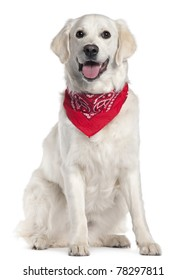 Golden Retriever wearing red handkerchief, 9 months old, sitting in front of white background