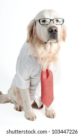 A golden retriever wearing white shirt, tie and glasses