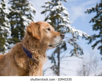 Golden retriever in a winter wonderland