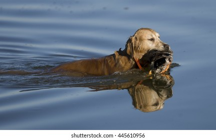 Golden Retriever, working dog, duck hunting, retrieving on water and land.