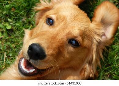 golden retriever young dog portrait diagonal closeup