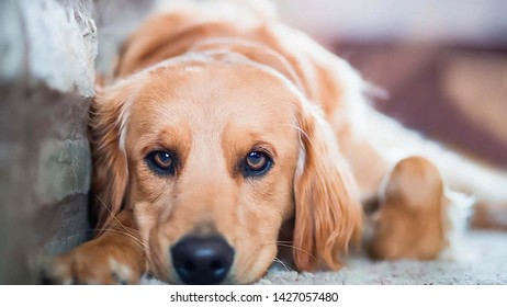 Golden Retriever,Dog lying beside the wall In sad and lonely eyes