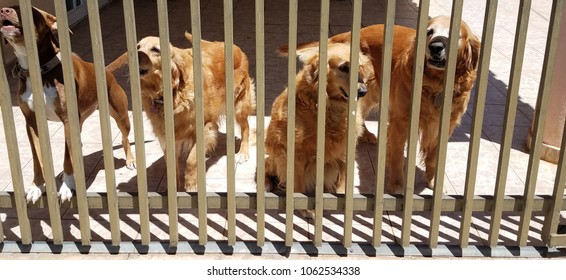 golden retrievers and other dog behind metal fence or gate