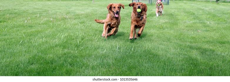 """ Golden Retrievers running and retrieving with tennis balls"""
