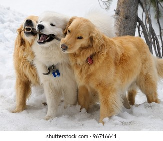 Golden Retrievers and Samoyed playing with a stick in the snow