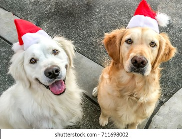 Golden Retrievers with santa hats and smiles