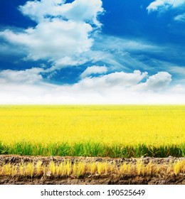 Golden rice field in autumn with blue sky.