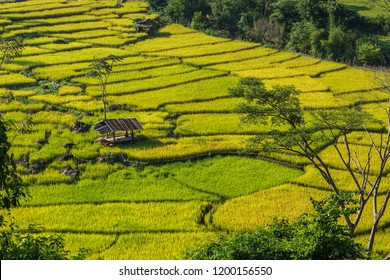 Golden Rice Field, a beautiful natural beauty on mountain in Nan Khun Nan  Rice Terraces,Nan Province, Thailand