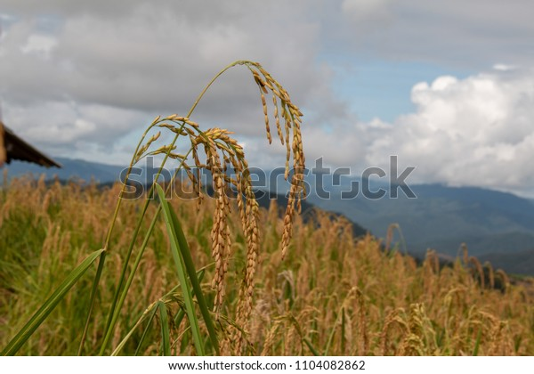 golden rice  in the  field with blue sky background.selective focus.